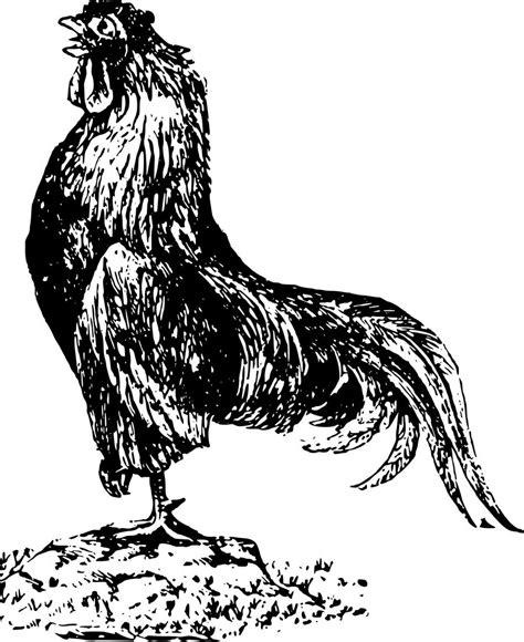 gambar ayam jago hitam putih cari gambar keren hd
