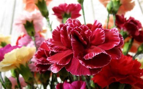 fiori di garofano significato garofano significato dei fiori conoscere