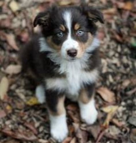 goberian puppy 20 best images about goberian on siberian husky puppies the black and tans