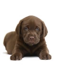 Cosy Sofa The Three Rs Of Labrador Puppy Education The Labrador Site