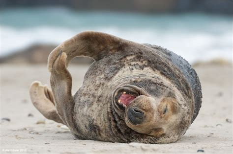 Laughing On The Floor by Walrus Rolling On The Floor Laughing
