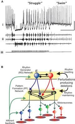 central pattern generator review frontiers does epileptiform activity represent a failure