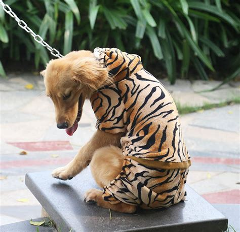 golden retriever tiger costume popular golden tiger costume buy cheap golden tiger costume lots from china golden