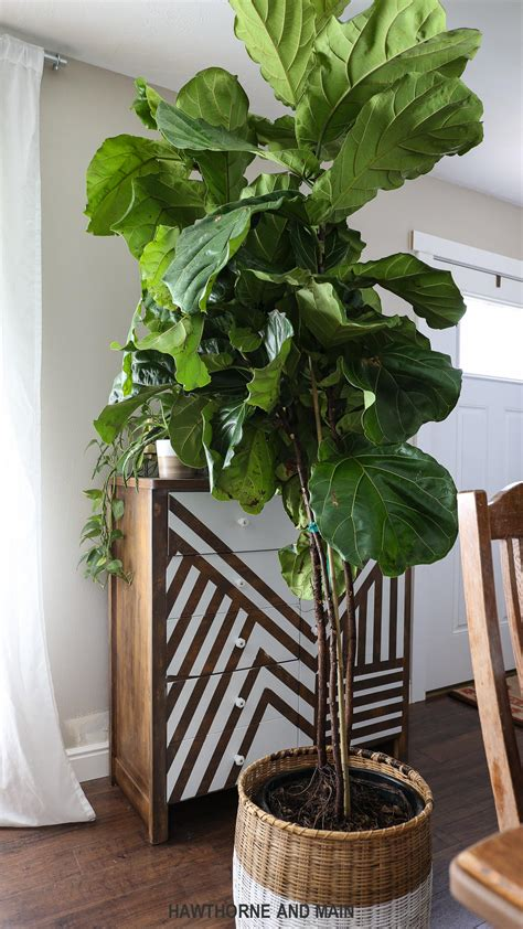 fiddle fig tree how to care for a fiddle leaf fig tree hawthorne and