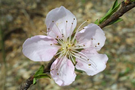 prunus persica peach go botany
