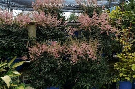 Gardens West Bloomfield by Plantfiles Pictures Astilbe False Spirea False Goat S