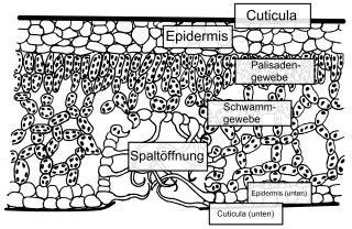 Beschriftung Querschnitt Laubblatt by Ort Der Photosynthese