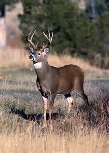 Find In California Deer California Outdoors Q And A