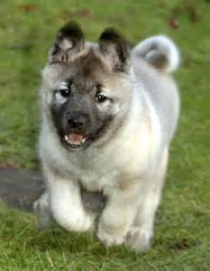 Norwegian elkhound medium breeds dog breeds index