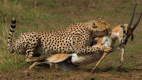 Prey Of The Predator images of predator and prey impremedia net