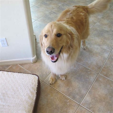 golden retriever az stoli southern arizona golden retriever rescue