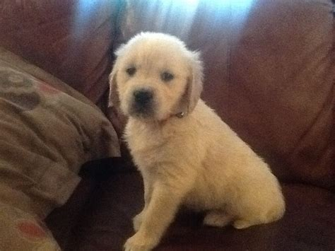 golden retriever pups for sale uk golden retriever pups for sale warrington cheshire pets4homes
