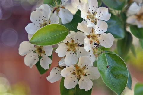 pear tree blossoms but no fruit the pear tree pioneer bushcraft