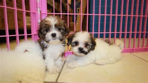 shih tzu puppies for sale in grand rapids michigan friendly hava tzu puppies for sale havanese shih tzu designer hypoallergenic