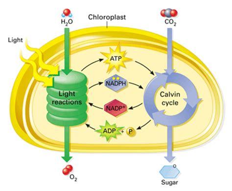 A Light Year Calvin Cycle Fdmcbiologyyear 12