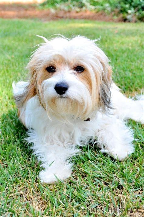 cavachon puppy cut cavachon haircut