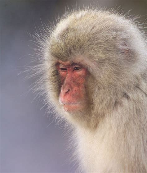 Picture 9 of 12 - Japanese Macaque (Macaca Fuscata ...