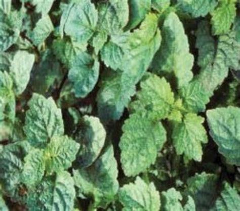Minyak Nilam Di Jambi pokok herba nilam