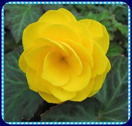 imagenes de rosas hermosas amarillas flores amarillas hermosas y radiantes como el sol
