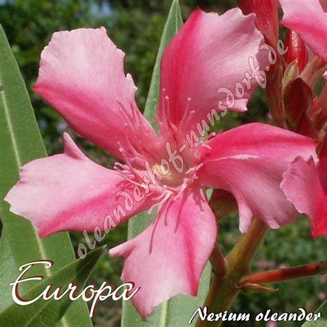 kewpie oleander europa nerium oleander oleanderhof