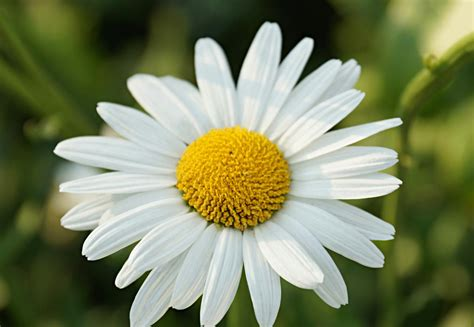 facts about daisy flowers meaning of daisy flowers and other facts about these