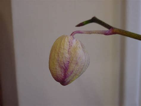 orchid care and maintenance falling orchid flower buds