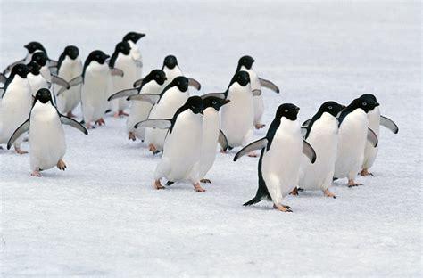 Adélie Penguins | TravelWild Expeditions