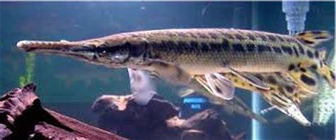 jeni jenis ikan predator air tawar yang unik dan populer
