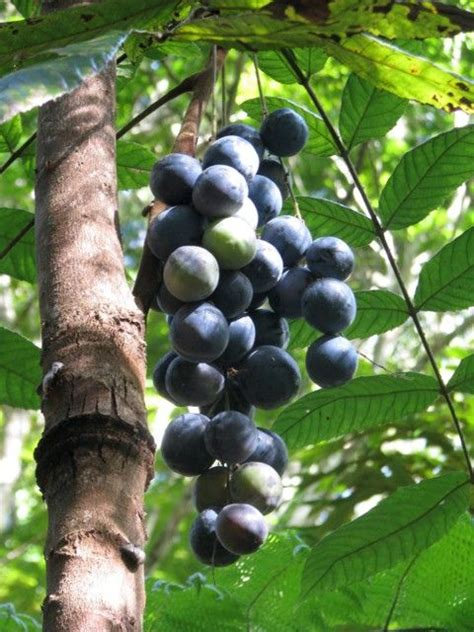 tropical fruit trees australia davidsonia pruriens davidson s plum is a small slender