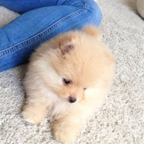 tiniest tiny micro teacup pomeranian puppy micro tiny teacup pomeranian puppy