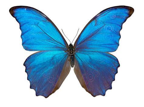imagenes jpg mariposas mariposas morpho azules im 225 genes y fotos