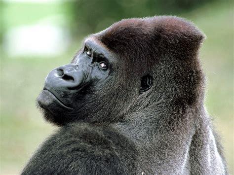 Funny Gorilla wallpaper for desktop |Funny Animal