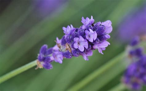 fiori di lavanda el inigualable exquisito y s 250 til perfume de la lavanda