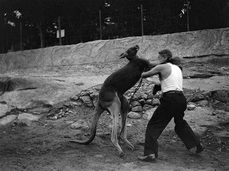 kangaroo punch kangaroo boxing 20 and disturbing vintage photos