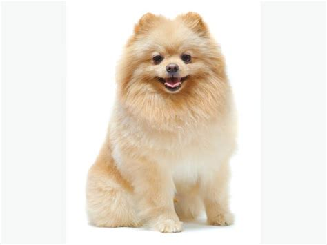 pomeranian chihuahua mix wanted looking for pomeranian chihuahua mix pomeranian husky saanich