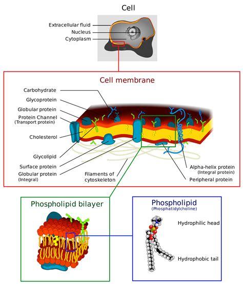 cell membrane wikipedia