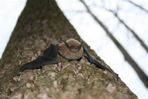 white nose fungus still killing thousands of pa bats the