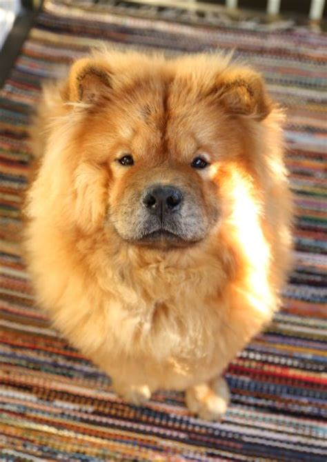 chow chow breed 25 best ideas about chow chow dogs on chow chow puppies chow chow and
