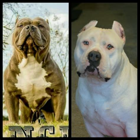 pitbull puppies san antonio precision bullies american pit bull terrier breeder in san antonio