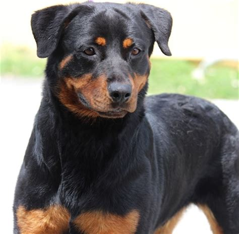 second chance rottweiler rescue gulfstream guardian rottweiler rescue