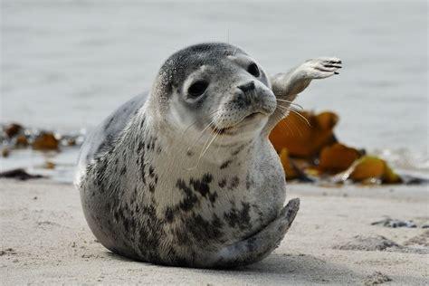 Seehund auf Helgoland - Schöpfung Seehund