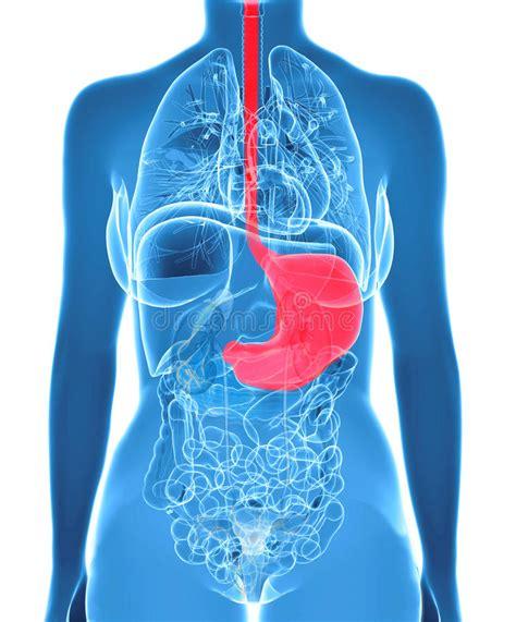 organi interni addome organi femminili dell addome con lo stomaco evidenziato