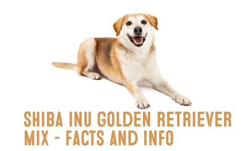 golden retriever facts and information shiba inu golden retriever mix information and facts my shiba inu