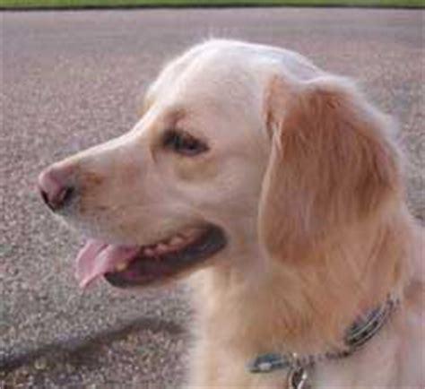 golden retriever hip dysplasia symptoms labrador health the story of rocky the golden retriever with hip dysplasia
