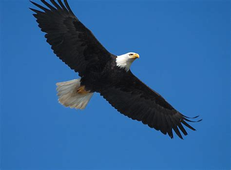 google images eagle pin eagle feather image on pinterest