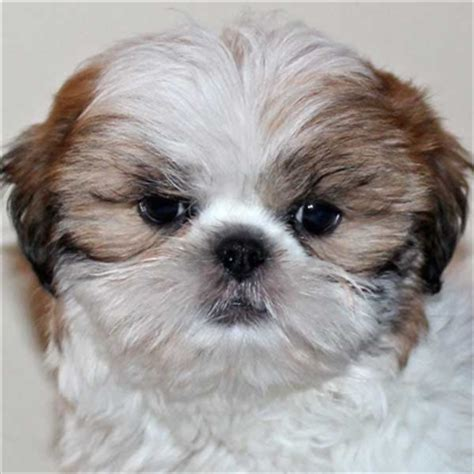 heavenly puppies shih tzu puppy for sale in south florida