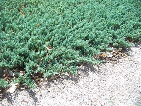 rug juniper trees that nursery blue rug juniper