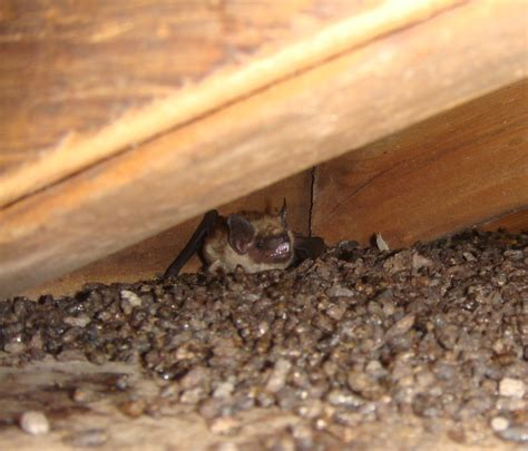 Bats In House by New Hshire Bat Removal A Closer Look At A Nh Bat