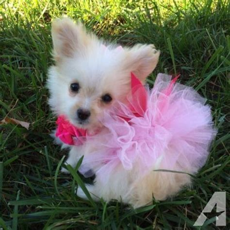 pomeranian poodle puppies for sale image gallery teacup pomapoos