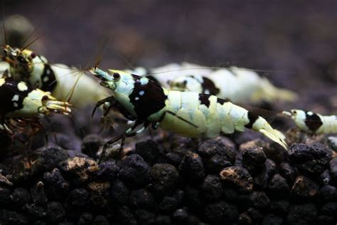 Black Bee Shrimp black shrimp information aquatic mag